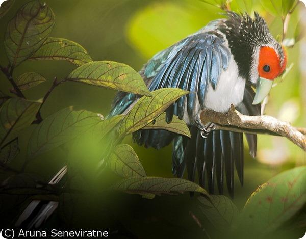 Краснолицая кустарниковая кукушка (лат. Phaenicophaeus pyrrhocephalus)