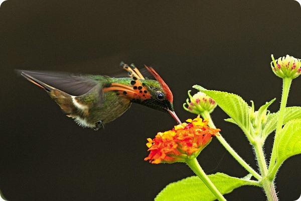 Украшенная кокетка (лат. Lophornis ornatus)