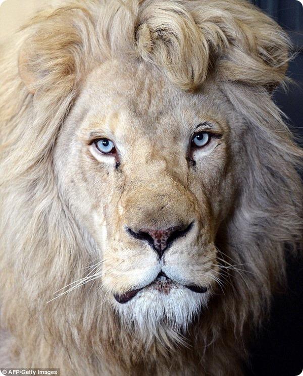 В зоопарке Польши родились белые львята