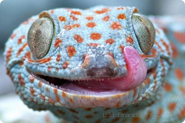 Геккон токи (лат. Gekko gecko)