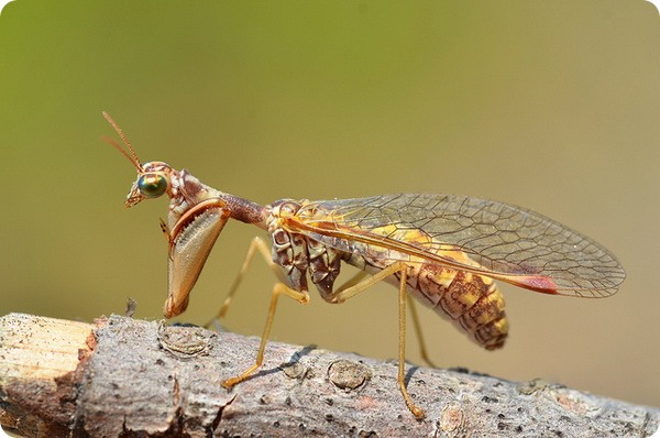 Мантиспы (лат. Mantispidae)