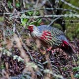 Кровавый фазан