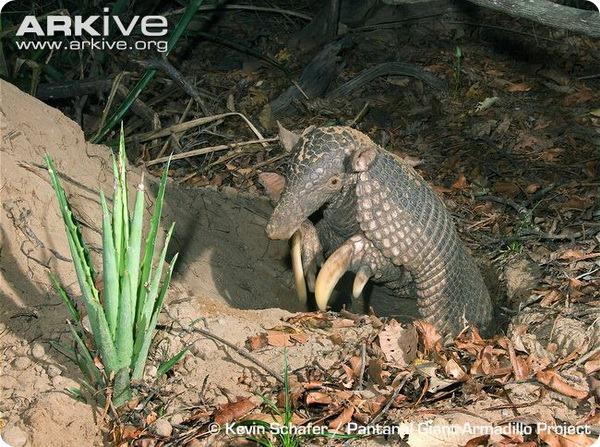 Гигантский броненосец (лат. Priodontes maximus)