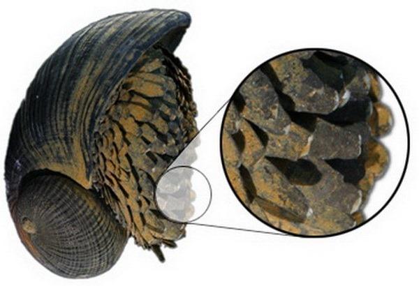 «Железная» улитка Crysomallon squamiferum