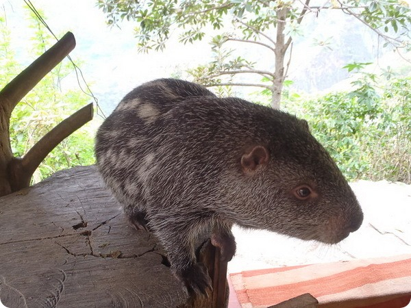 Пакарана (лат. Dinomys branickii)