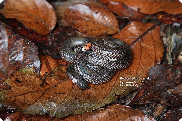 Красная цилиндрическая змея (лат. Cylindrophis ruffus)