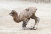 В зоопарке Цинциннати родился двугорбый верблюжонок