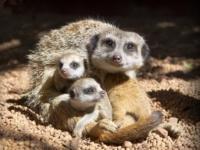 Веселая троица сурикатов из зоопарка Перта