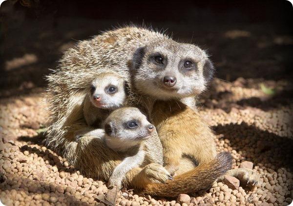 Весела троица сурикатов из зоопарка Перта