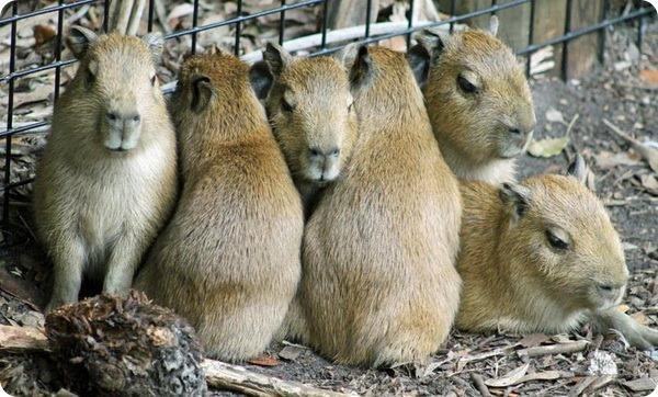 В зоопарке Бревэрда родились детеныши капибары