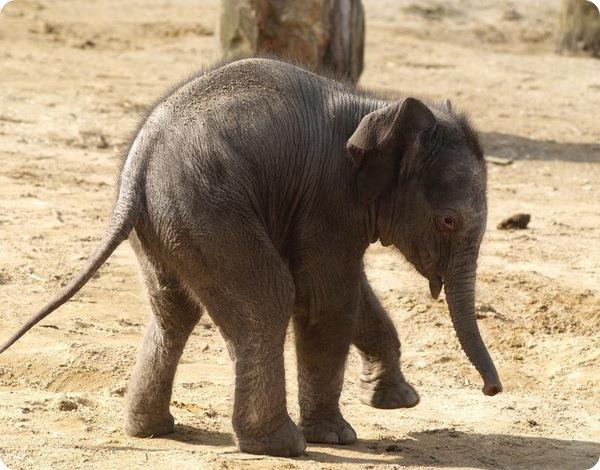 В зоопарке Туайкросс на свет появился новый слоненок