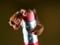 Детеныш листохвостого геккона из зоопарка Хьюстона