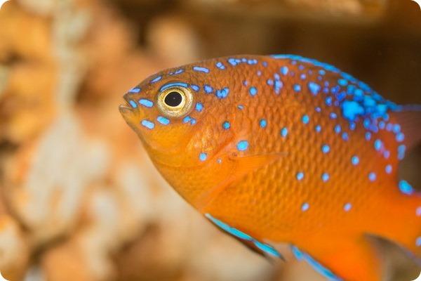 Зоопарк Базеля представил новую рыбку Гарибальди
