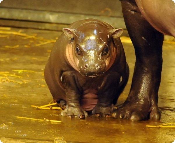 Зоопарк Бристоля представил карликового бегемота