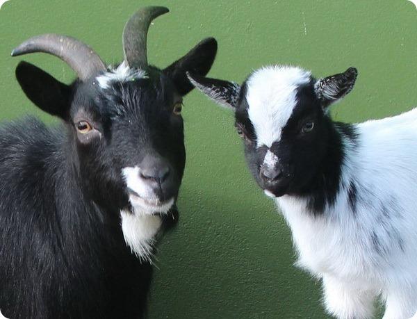 Африканские карликовые козлята из зоопарка Белфаста