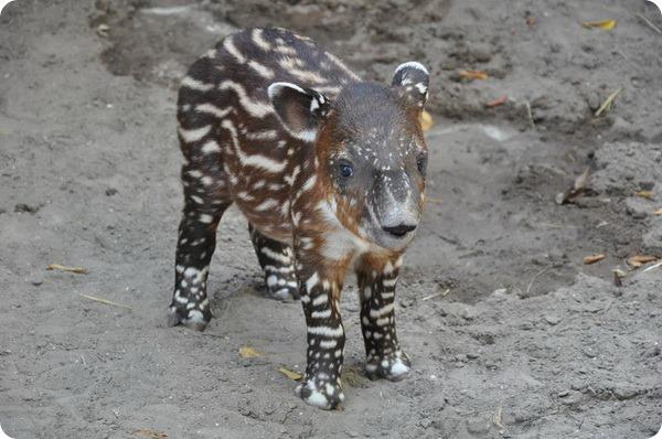 Зоопарк Палм-Бич представил детеныша тапира Бэрда