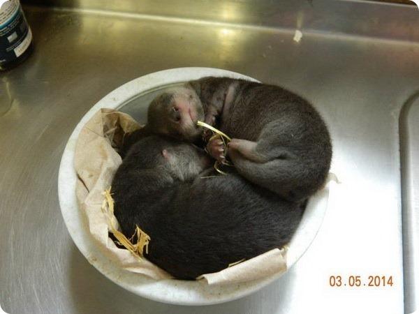 В зоопарке Пуэбло родились детеныши канадской выдры