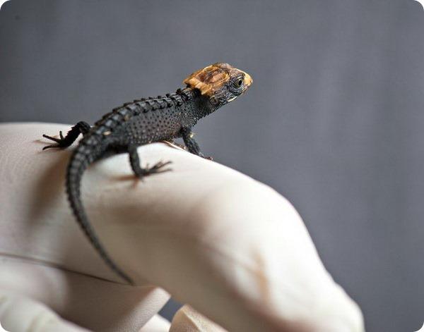 Маленький крокодиловый сцинк из зоопарка Форт-Уэйна