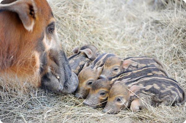 Детеныши кистеухой свиньи из зоопарка Майами