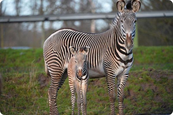Детеныш редкой зебры Греви из зоопарка Честера
