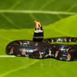 Красная цилиндрическая змея