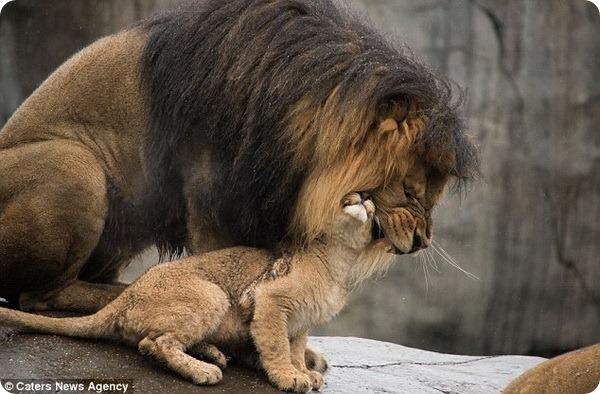 Лев-отец знакомится со своими львятами