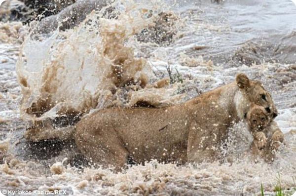 Львица переносит львенка через быструю реку
