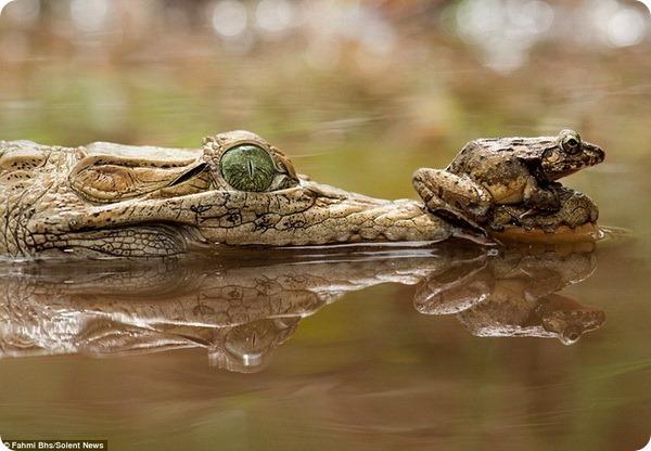 Лягушка решила отдохнуть на морде крокодила