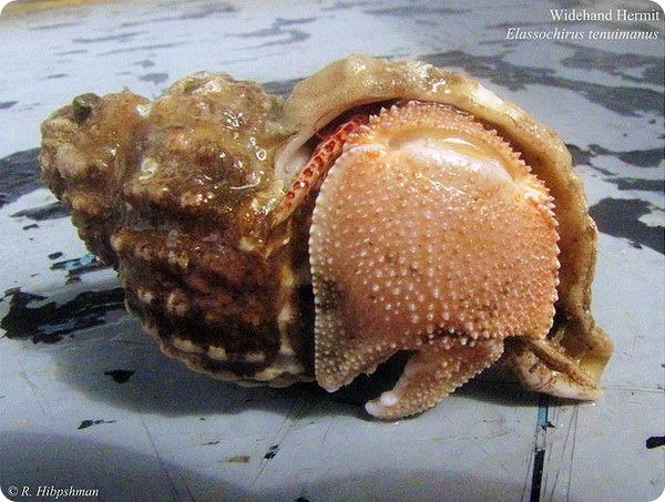 Рак-отшельник Elassochirus tenuimanus