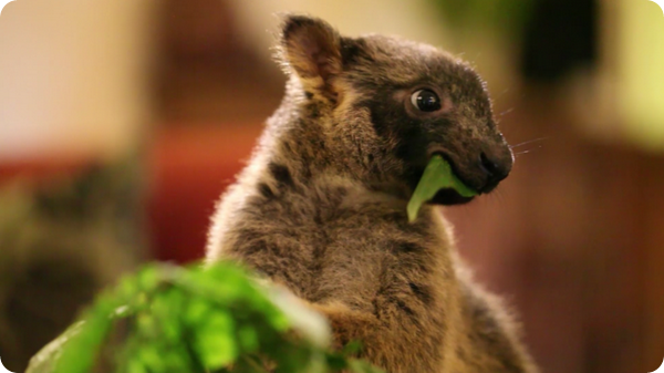 Спасенные детеныши кенгуру Люмхольтца