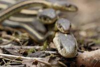 Змеиные ямы Нарсисса в Канаде