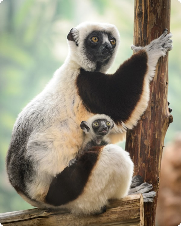 Детеныш сифаки из зоопарка Сент-Луиса
