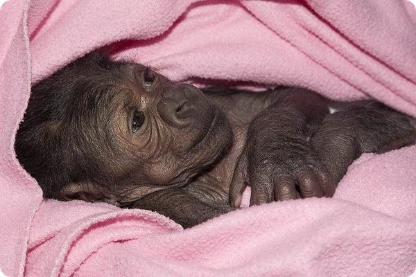 В зоопарке Сан-Диего родился детеныш гориллы