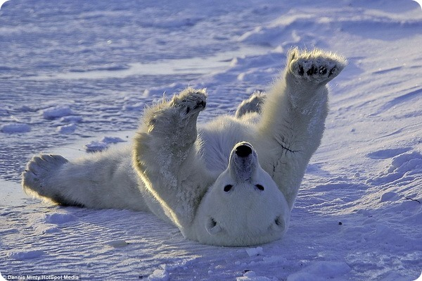 Белый медведь наслаждается отдыхом в Гудзоновом заливе