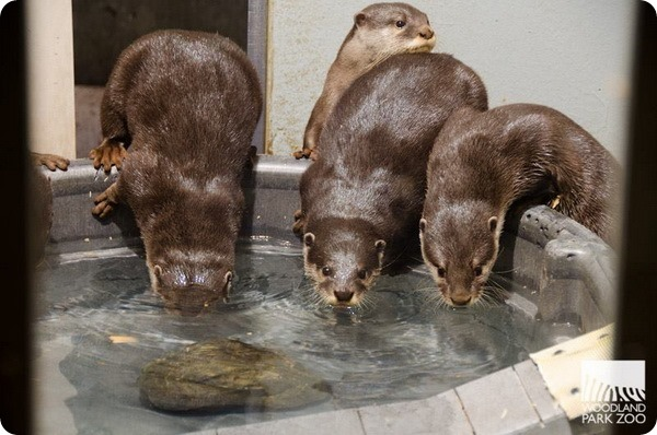 Зоопарк Вудленд-Парк представил вислых выдрят