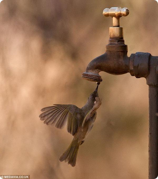 Австралийский медосос ловит каплю воды