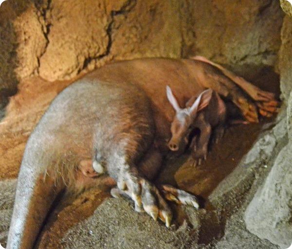 Биопарк Валенсии представил детеныша трубкозуба