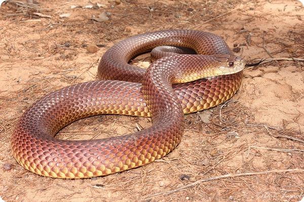 Мулга или коричневый король (лат. Pseudechis australis)