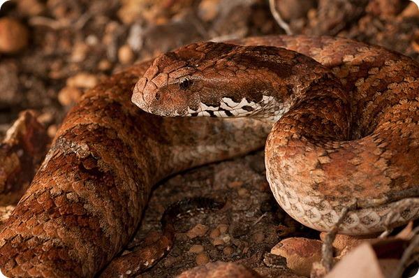 Гадюкообразная смертельная змея (лат. Acanthophis antarcticus)