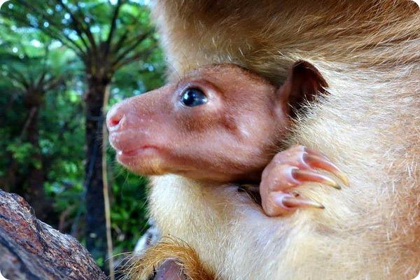 Зоопарк Таронга представил детеныша древесного кенгуру