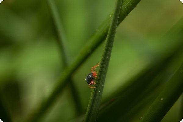 Зимний зерновой клещ (лат. Penthaleus major)