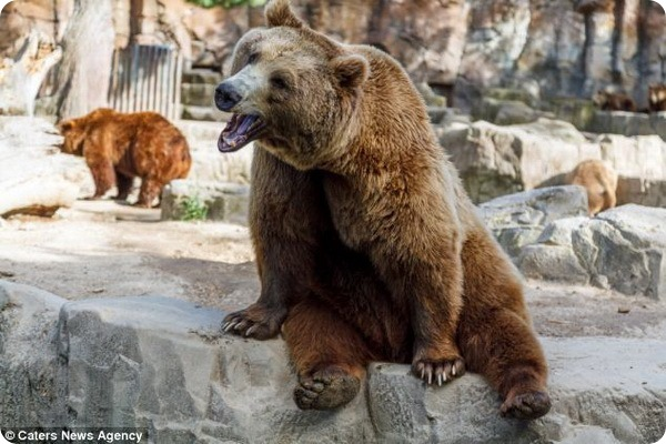 Веселый медведь из зоопарка Мадрида