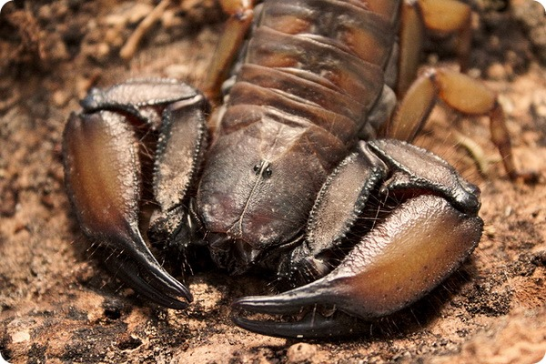 Каменный скорпион (лат. Hadogenes troglodytes)