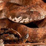 Гадюкообразная смертельная змея