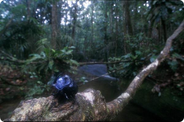 Жук-навозник Coprophanaeus lancifer