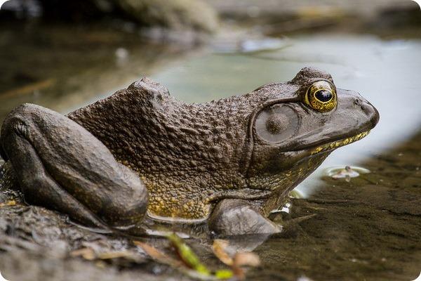 Лягушка-бык (лат. Lithobates catesbeianus)
