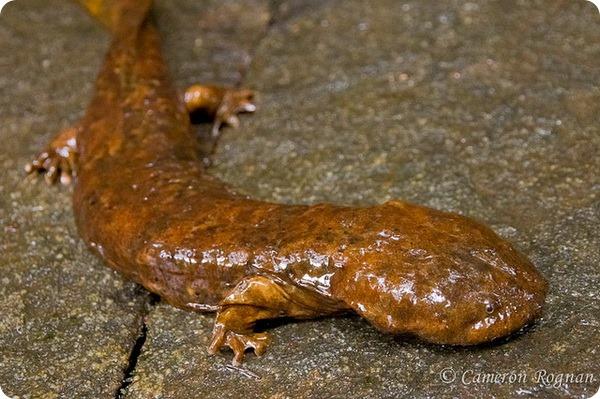 Аллеганский скрытожаберник (лат.Cryptobranchus alleganiensis)