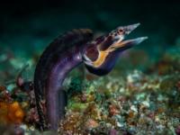 Оранжевогорлые щучьи морские собачки