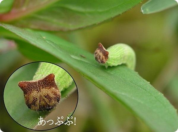 Китайская коричневая бархатница (лат. Mycalesis gotama)