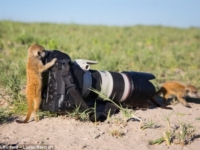 Необычная дружба между фотографом и сурикатами